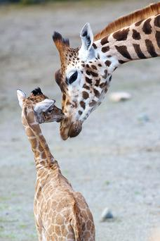 The giraffe calf made his first outside appearance in the African Savanna yesterday