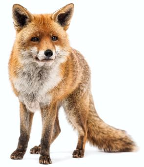 Foxes have been spotted near the Rotunda Maternity Hospital