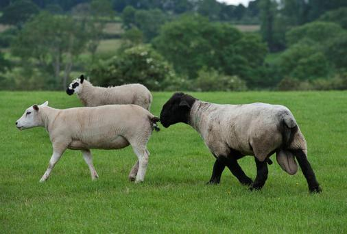 A ram with ewes - An Bord Bia reported that sheep trade remained steady last week. Photo O'Gorman Photography.