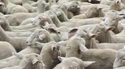 The EU has forecast a 2 per cent increase in sheep prices.