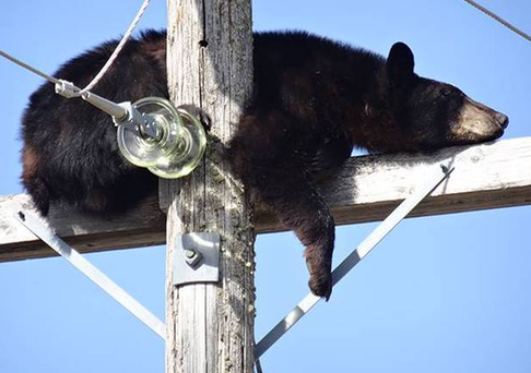 The bear was worn out from being chased by a pair of dogs, according to an electricity firm.