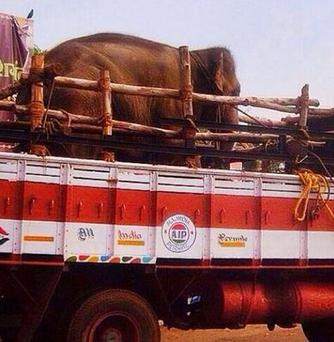 Sunder the elephant has packed his trunk and is on his way to freedom (Photo: Peta India)