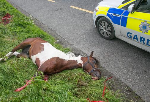 A young horse lies dead on the side of the Kilkenny to Waterford Road, near the Kilkenny Rugby Club grounds after an accident in a sulky race. The young horse was still alive after the accident but had to be put down by the vet. Photo: Pat Moore.