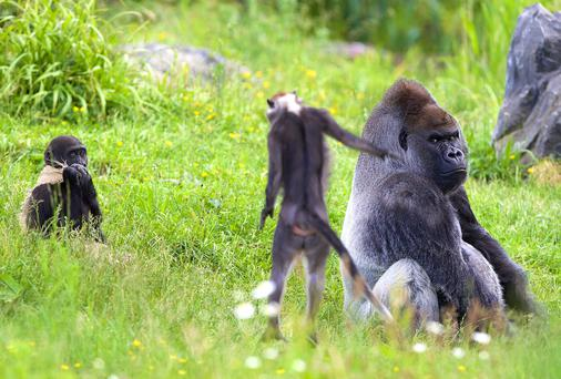 Red-Capped Mangabey Arrive at Dublin Zoo and are introduced to the Gorillas