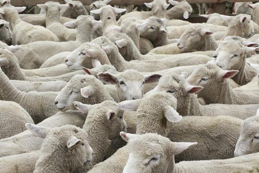 Its hoped ewe lambs will be over the target at the time of sale