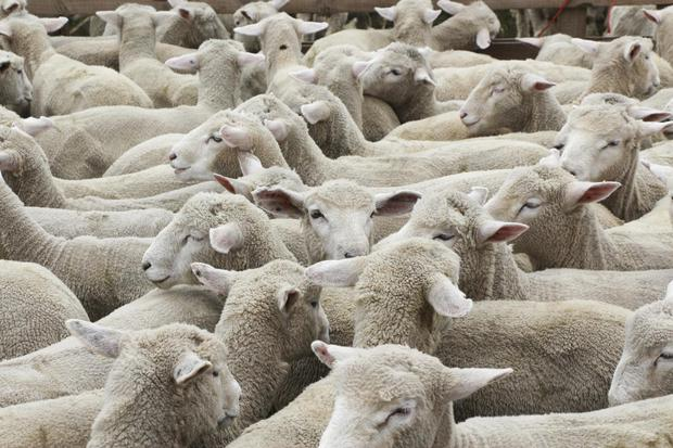 The agricultural show in Tourmakeady had the largest amount of sheep entered to date. Stock phot