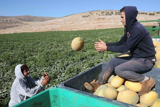 ONE IN A MELON: Palestinian farmers collect melons at a farm in the West Bank village of Tammoun, near Nablus, last week REUTERS/ABED OMAR QUSINI