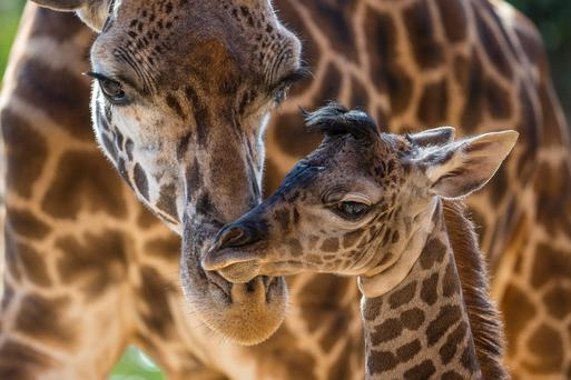 Harriet, a Masai giraffe, attends to her four-day-old calf at the San Diego Zoo