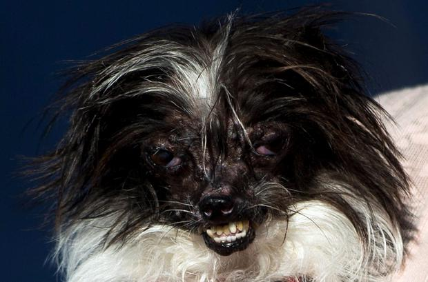 Peanut, a mutt dog from Greenville, North Carolina, rests in the arm of owner Polly Chandler after winning the 2014 World's Ugliest Dog contest in