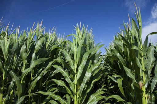 Genetically modified corn.