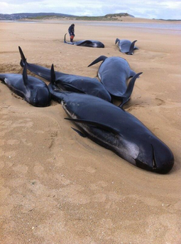 The pod of pilot whales on Falcarragh beach. Photo: BarryWhyte85