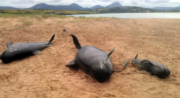 Three of the 13 whales that have been stranded on a beach off Donegal