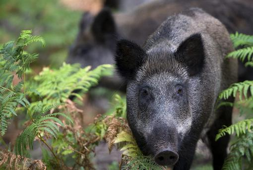 Wild boars are becoming a real problem on the outskirts of Marseille