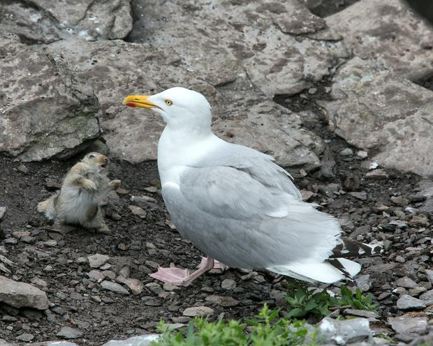A young Rabbit defends itself against a Blackback gull on Skellig Michael, Co.Kerry (Pic.Michael Kelly)