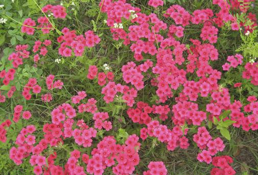 IMPACT: Phlox flowers add colour and are good survivors