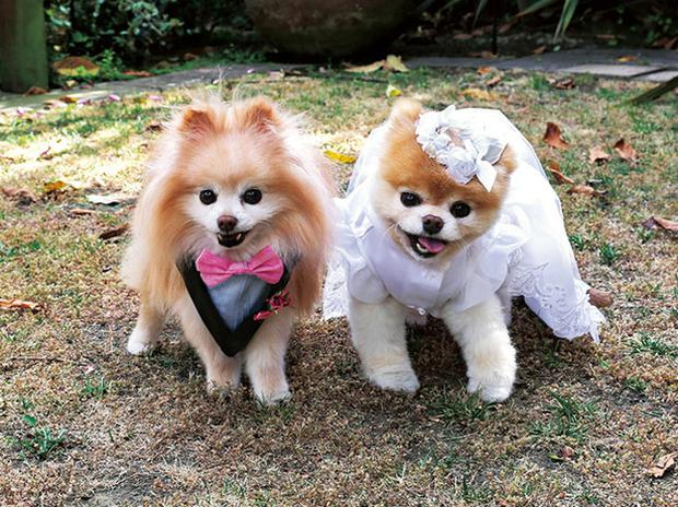 A Modern The Worlds Most Famous Dog Boo Dons Wedding Outfit With Pooch Pal