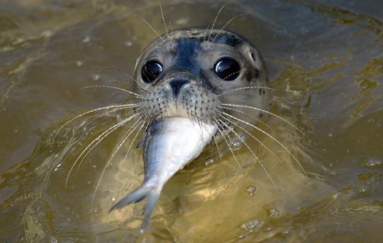 A young seal is fed a fish at the seal station in Friedrichskoog, northern Germany. The Seal Center Friedrichskoog is the only authorized shelter for abandoned or sick seals in the state of Schleswig-Holstein.
