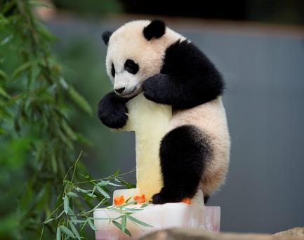 Panda cub Bao Bao climbs onto her birthday cake at the National Zoo in Washington, Saturday, Aug. 23, 2014. Today marks her first birthday and the zoo celebrated the event with a traditional 'Zhuazhou' ceremony, a Chinese birthday tradition symbolizing long life to mark the event. (AP Photo/Pablo Martinez Monsivais)