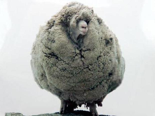 A 'before' photo of the world famous sheep 'Shrek'
