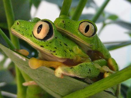 Lemur leaf frogs, one of the top 10 reptiles and amphibians avoiding extinction with the help of zoos