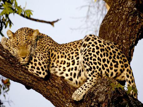 Kamla Devi (56) used a sickle and a spade to kill the leopard after it pounced on her as she walked home