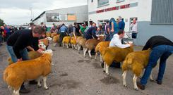 There was a large show of top quality Texels at the Donegal Texel Breeders show and sale at Raphoe mart on Friday Photo Clive Wasson