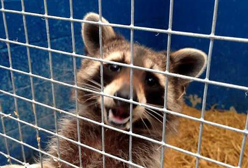 The DSPCA has taken in a raccoon