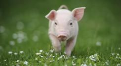 Young pig on a green grass (stock photo)
