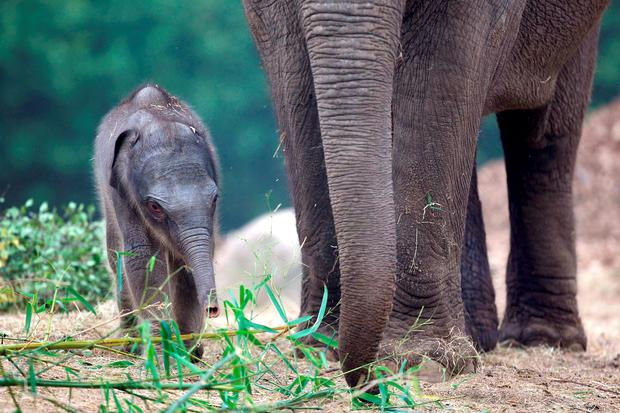 Dublin Zoo today announced the arrival of a healthy female Asian elephant calf. © Patrick Bolger Photography 2014