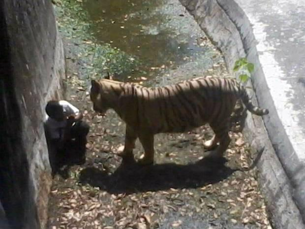 Witnesses say the tiger grabbed the man after he landed in its enclosure