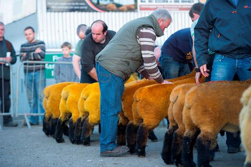 James Rooney judging the pairs at the Donegal pedigree Suffolk Show and sale at Raphoe mart last Friday. Photo: Clive Wasson.
