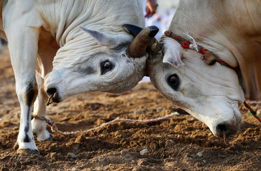 Two bulls lock their horns - pic posed by models