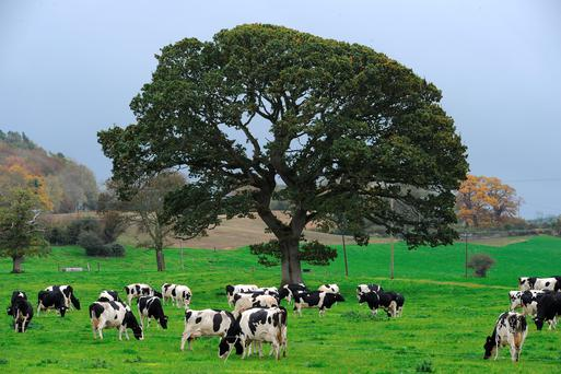 A herd grazing at Dunleckney Manor estate, MuineBheag, Co Carlow