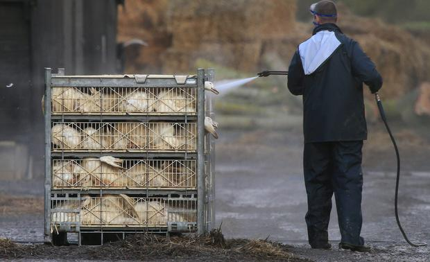 Ducks are disinfected after being gassed during a cull at a farm in Nafferton, East Yorkshire operated by Cherry Valley after a bird flu outbreak. Photo: Lynne Cameron/PA Wire