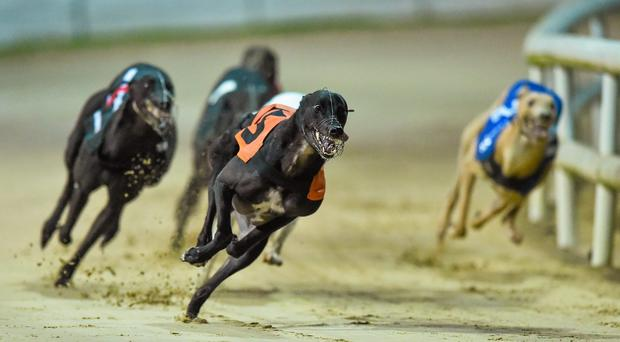 Blake's litter brother Laughil Bolt will occupy the same six trap 15 minutes later in the second heat and last year's Plate winner, which is trained by Pat Guilfoyle, will be strongly fancied
