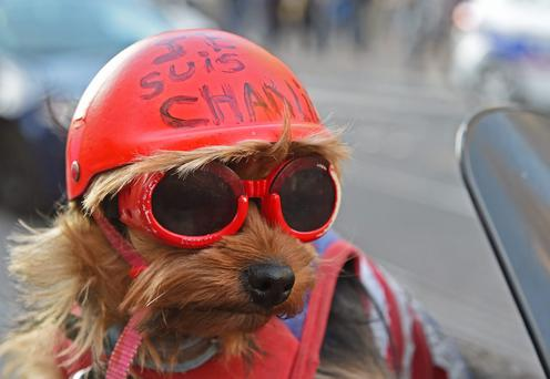 A dog with a helmet reading
