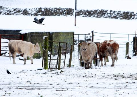 Life stock taking shelter from the wind and the snow near Loughrea, Co. Galway last week. Photo: Hany Marzouk.