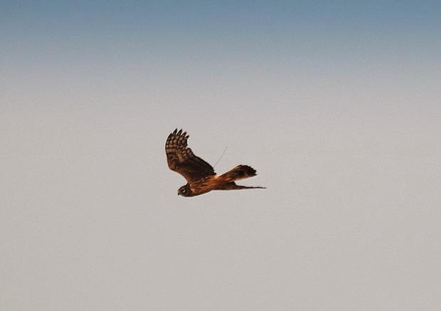 File photo of Heather the Hen harrier