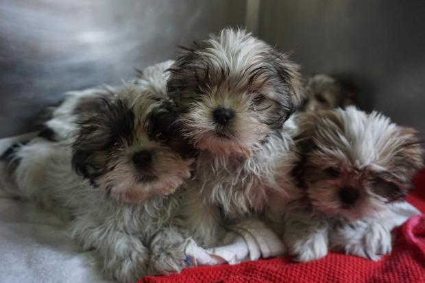 Some of the 116 puppies in the care of the DSPCA