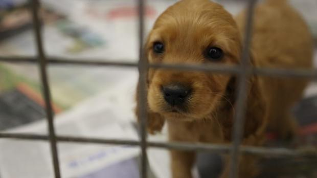 One of the 116 puppies in the care of the DSPCA. Pic Donal Corkery