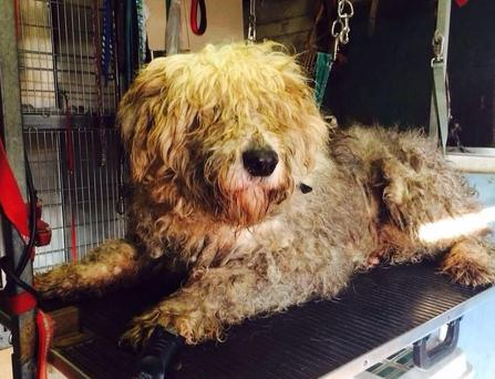 Max before his much-needed haircut (Photo: Facebook/DonegalPetRescue)