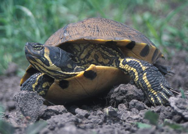 The Yellow Belly Terrapin
