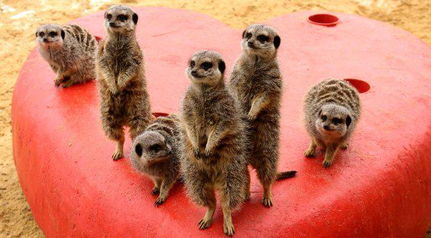 Meerkats at Woburn Safari Park in Bedfordshire explore a giant love heart that has been introduced to their enclosure in time for Valentines day