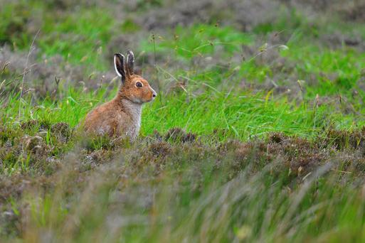 'Once, from a passing train, I saw some hares in sporting fettle leaping and boxing in a field. The fur was flying'