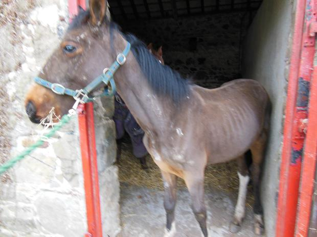 Shocking picture show mistreatment of ponies and foals by 'sulkie' gangs Pic: Waterford Society of Prevention of Cruelty to Animals