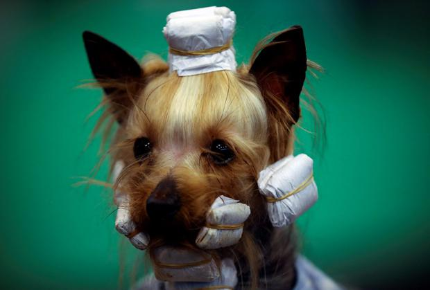 A Yorkshire Terrier in hair curlers watches competitors on the fourth and final day of Crufts dog show at the National Exhibition Centre in Birmingham. Photo: Carl Court/Getty Images