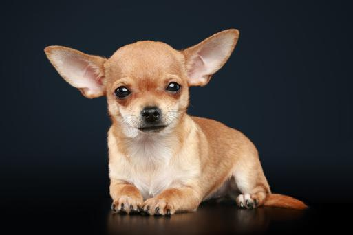 Pet insurance can be a good idea if you are getting a puppy (Chihuahua -Stock Photo)