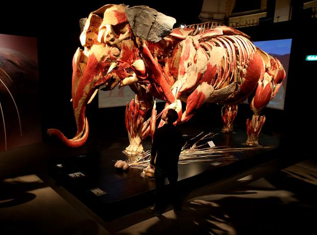 Student Kifah Ajamia looks at an elephant, as nearly 100 anatomically dissected animals go on display in Dublin, as the Body Worlds: Animal Inside Out exhibition opens at the Ambassador Theatre