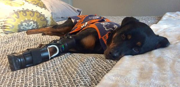 Brutus with his new paws (Photo: Facebook/Better Paws for Brutus)