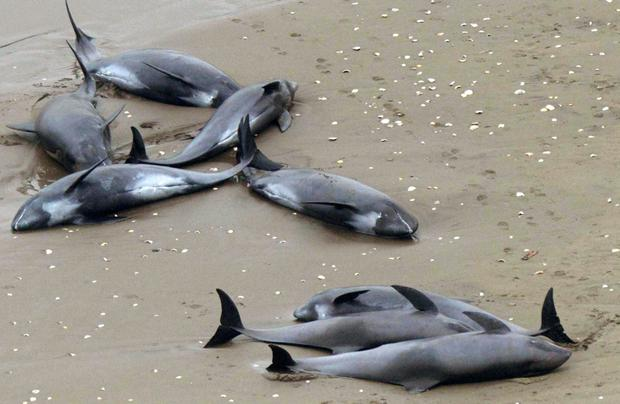 Dolphins lie on the beach in Hokota, north of Tokyo, Friday (AP Photo/Kyodo News)